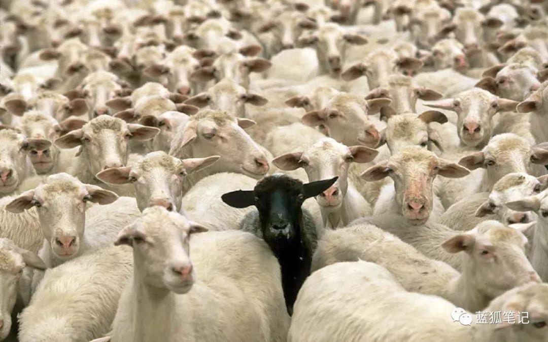 """蓝狐笔记:与众不同才能脱颖而出,成为那只""""亿万富翁""""的黑羊"""